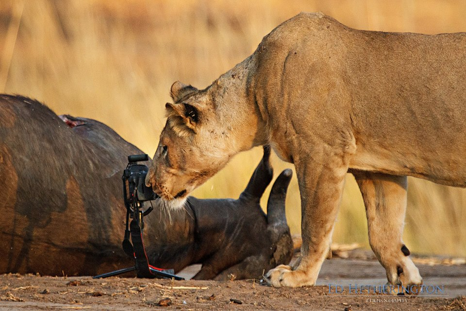 20130105 A Lion Steals My Camera-12