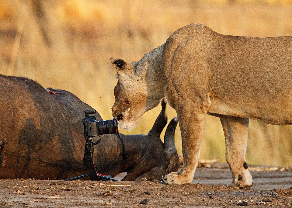 20130105 A Lion Steals My Camera-13