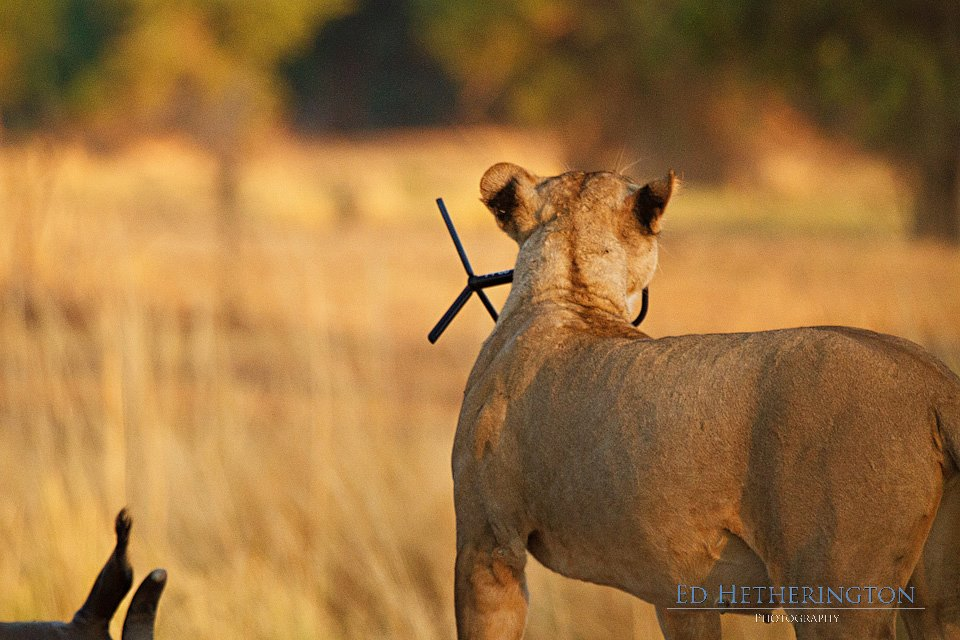 20130105 A Lion Steals My Camera-14