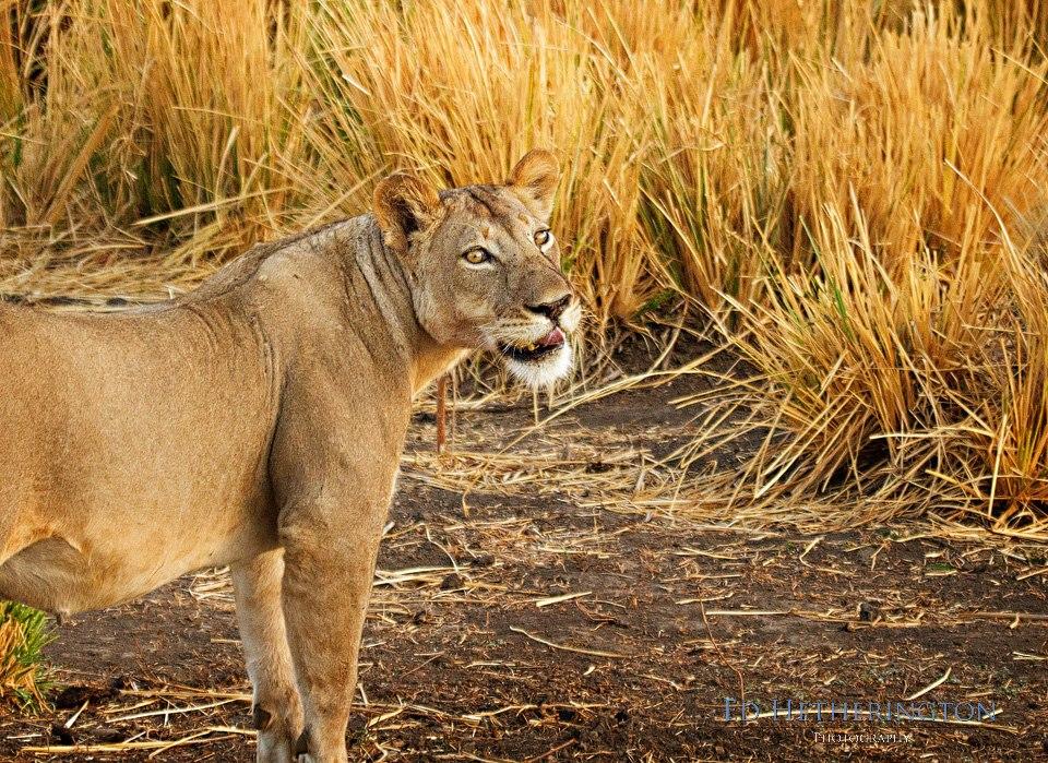 20130105 A Lion Steals My Camera-20