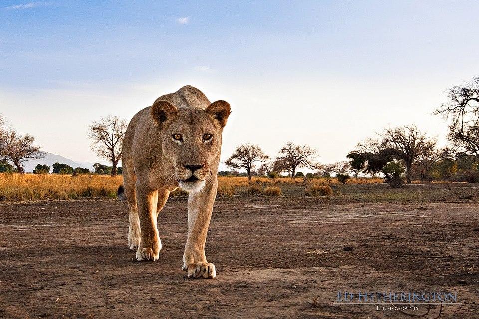 20130105 A Lion Steals My Camera-4