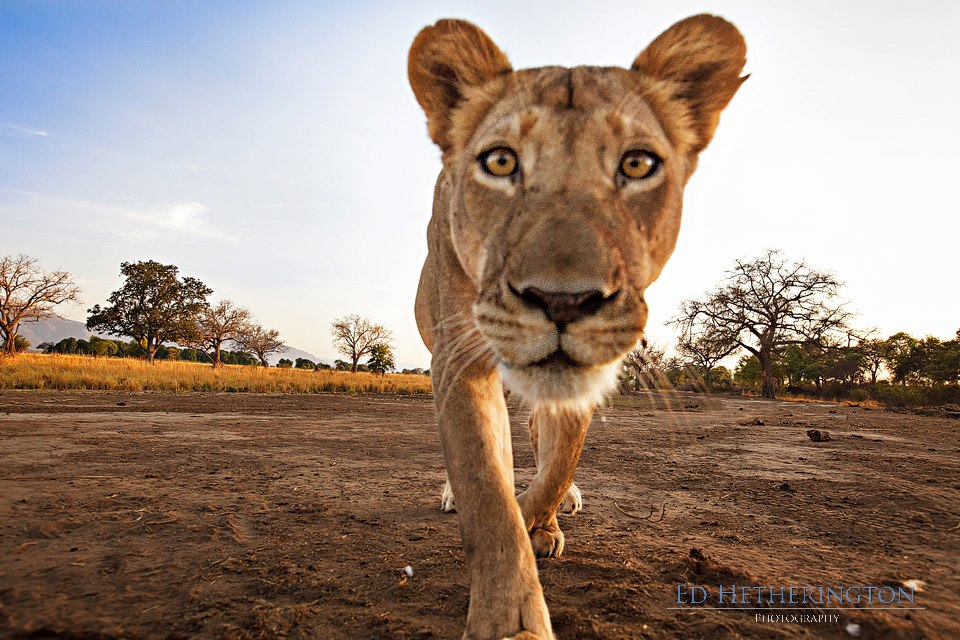 20130105 A Lion Steals My Camera-5