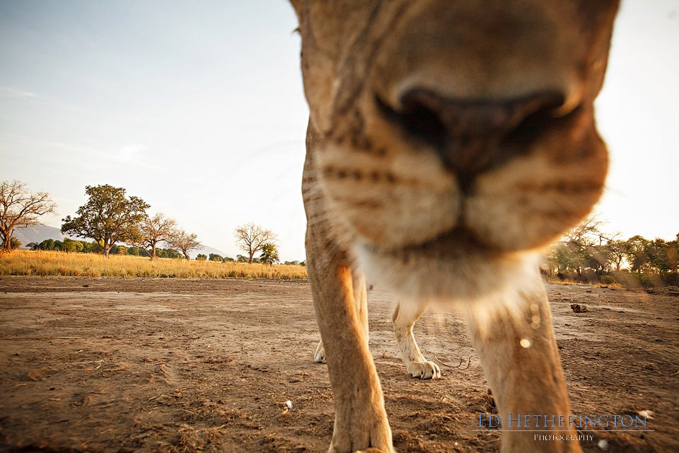 20130105 A Lion Steals My Camera-6