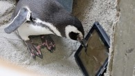 之前,網路上就流傳著許多貓咪玩 iPad 的影片,但是你能想像水族館裡面的企鵝竟然也會玩 i […]
